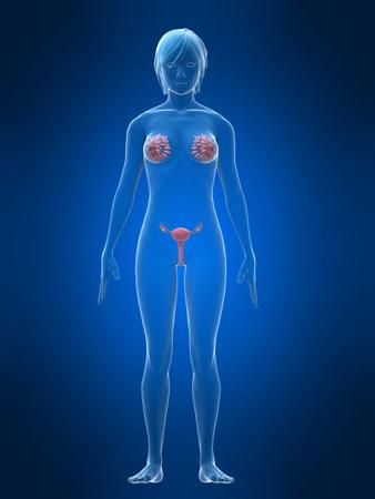 obstetrics: female  organs