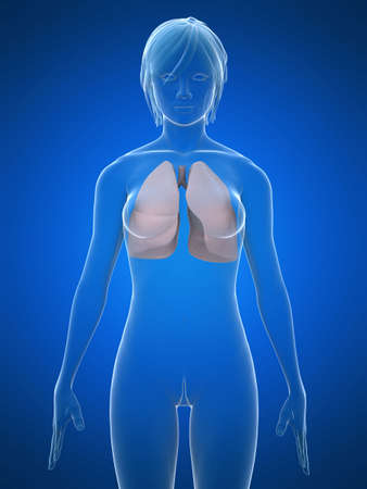 glas 3d: female lung Stock Photo