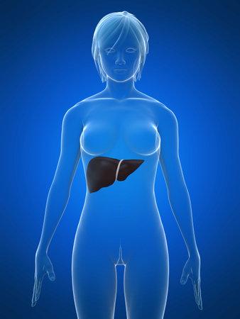 glas 3d: female liver