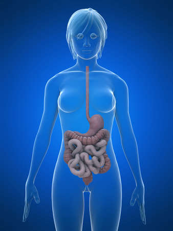 glas 3d: female digestive system