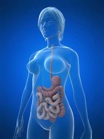 intestines: female digestive system