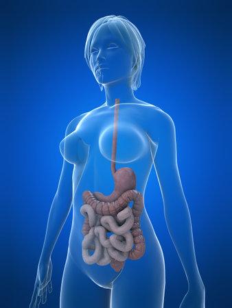 intestines: femenino aparato digestivo