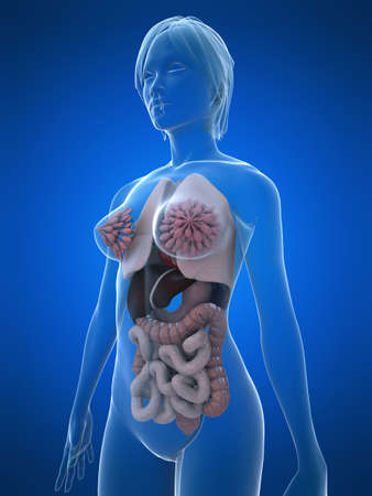 intestines: Anatom�a femenina  Foto de archivo