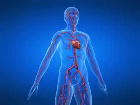 sistema cardiovascular Foto de archivo - 4696249