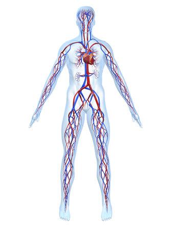 cardiovascular system Stock Photo - 4696203