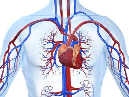 Herz-Kreislauf-System Standard-Bild
