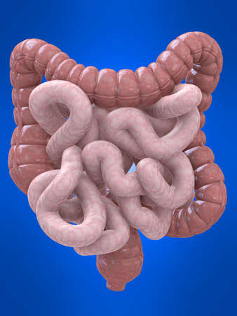 the stomach and intestines: colon and intestines