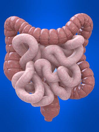 intestines: colon y los intestinos Foto de archivo