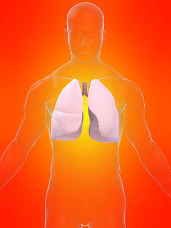 transparent body with lung Stock Photo - 4696189