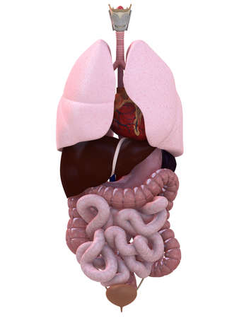 human organs Stock Photo - 4696111