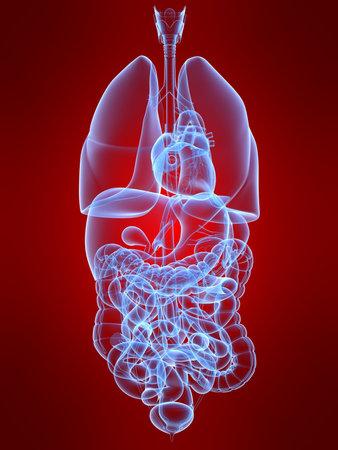 transparent human organs Stock Photo - 4696138