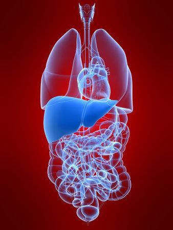 human liver Stock Photo - 4696194