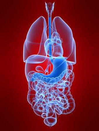 human stomach Stock Photo - 4696234