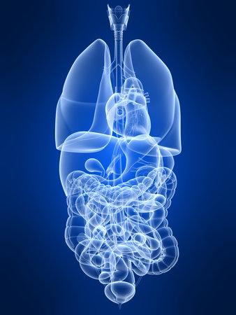organos internos: transparente �rganos