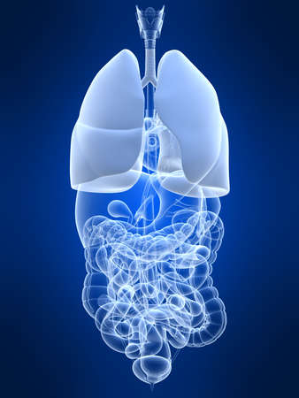 human lung Stock Photo - 4696233