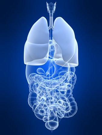 human lung Stock Photo - 4696233