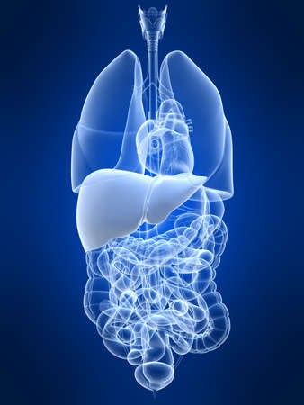 human liver Stock Photo - 4696185
