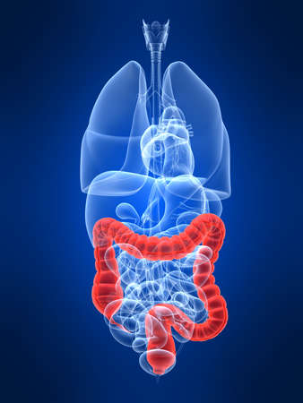 inflammation: transparent human organs with highlighted colon