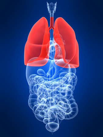 highlighted: transparent human organs with highlighted lung