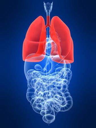 intestino: transparente con �rganos humanos destac� pulm�n Foto de archivo
