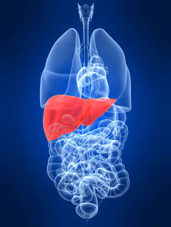 gallbladder: transparent human organs with highlighted liver Stock Photo
