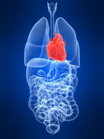 uretra: transparente con �rganos humanos destac� coraz�n Foto de archivo