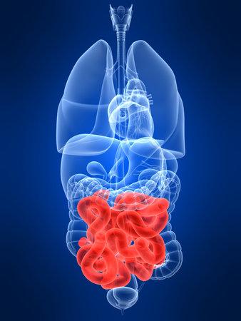 uretra: transparente con �rganos humanos destac� intestinos