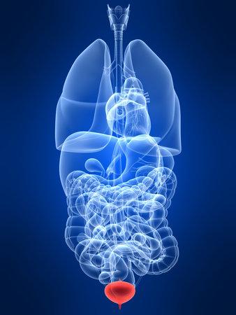 uretra: transparente con los �rganos humanos de relieve la vejiga