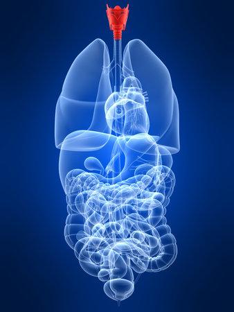 larynx: transparent human organs with highlighted larynx