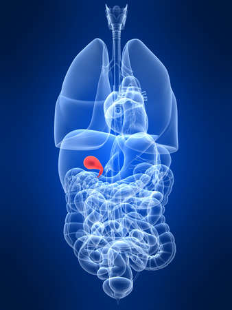 gallbladder: transparent human organs with highlighted gallbladder Stock Photo