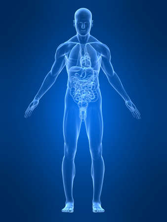 transparante mannelijke anatomie