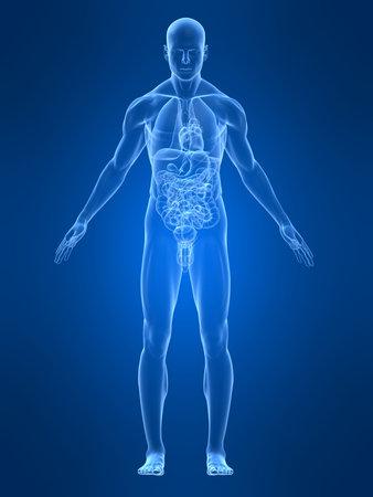 anatomia humana: transparente anatom�a masculina
