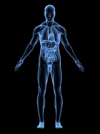 transparente anatomía masculina