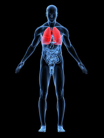 transparent male body with highlighted lung photo