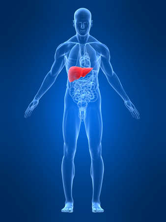 transparent male body with highlighted liver Stock Photo - 4683071
