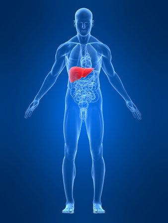 higado humano: transparente cuerpo masculino destac� con h�gado
