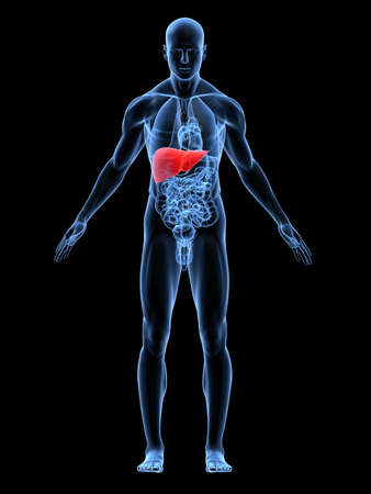 transparent male body with highlighted liver photo
