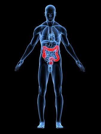 bowel: transparent male body with highlighted colon