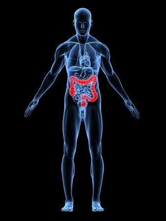 intestino: transparente con el cuerpo masculino destac� colon
