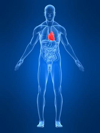 transparante mannelijk lichaam met gemarkeerde hart Stockfoto