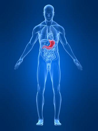 transparante mannelijk lichaam met gemarkeerde maag