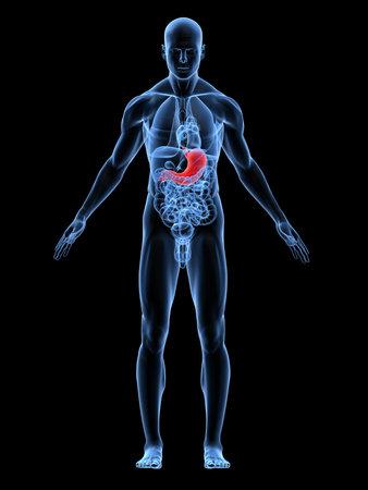 highlighted: cuerpo de hombre transparente con el est�mago de relieve