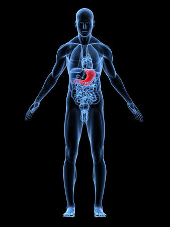 inflammated: transparent male body with highlighted stomach Stock Photo