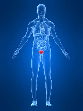 human anatomy: transparent male body with highlighted bladder Stock Photo