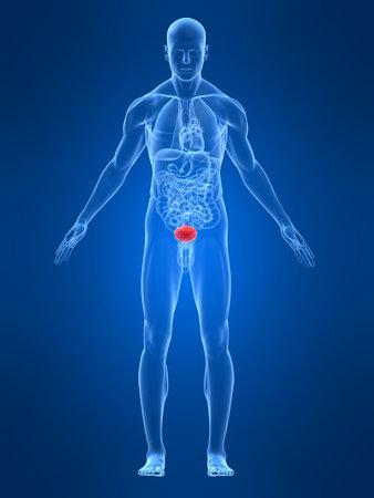 anatomia humana: transparente con el cuerpo masculino destac� la vejiga