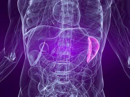 inflammated: highlighted spleen