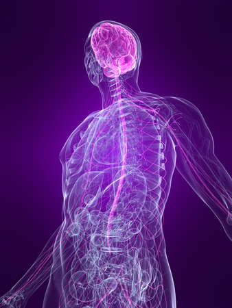 transparent human body with highlighted nervous system Stock Photo