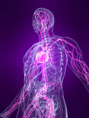 circulation: transparent human body with highlighted vascular system
