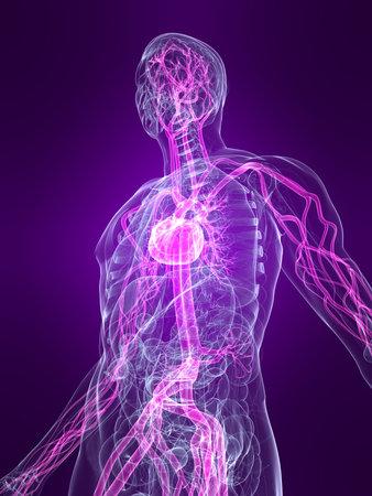 circolazione: trasparente corpo umano con evidenza sistema vascolare Archivio Fotografico