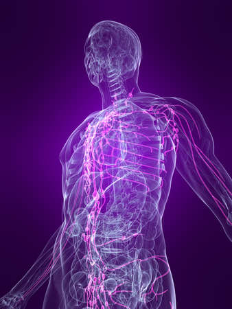 transparent human body with highlighted lymphatic system photo